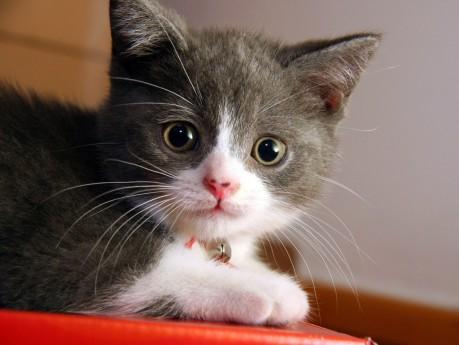 cat3grey-white-kitten