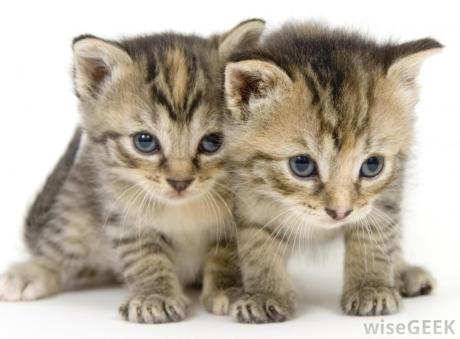 cat5pair-of-young-kittens